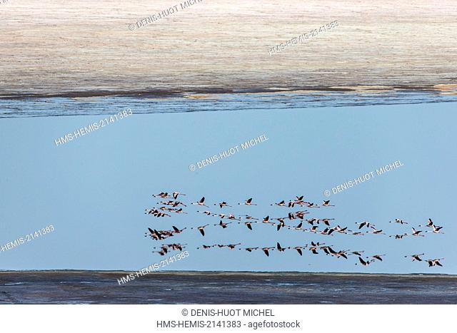 Kenya, Magadi lake, flamant nain, lesser flamingo (Phoeniconaias minor), aerial view
