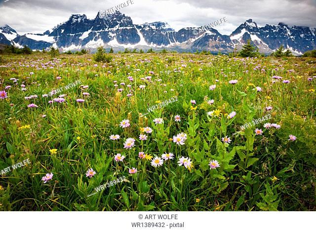 Wildflowers, Jasper National Park, Alberta, Canada