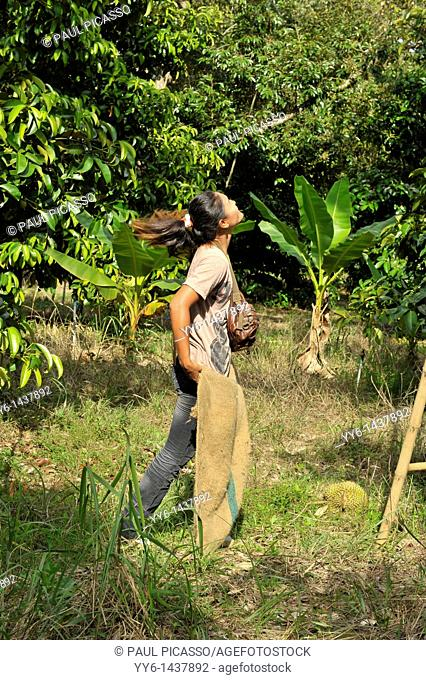 catching durian thrown from tall trees,king of fruit, rayong , eastern Thailand