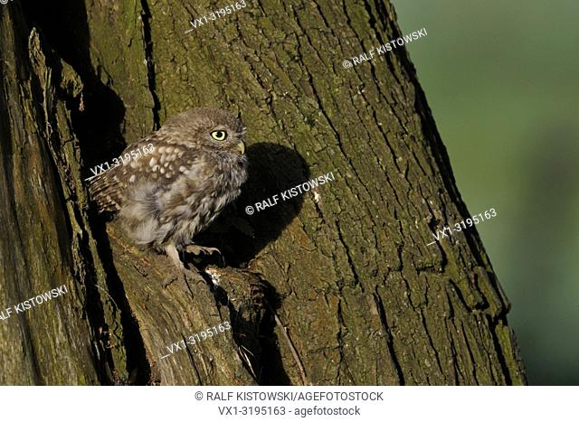 Little Owl (Athene noctua) offspring, squeaking in front of its hollow in an old willow tree, seems to be exited