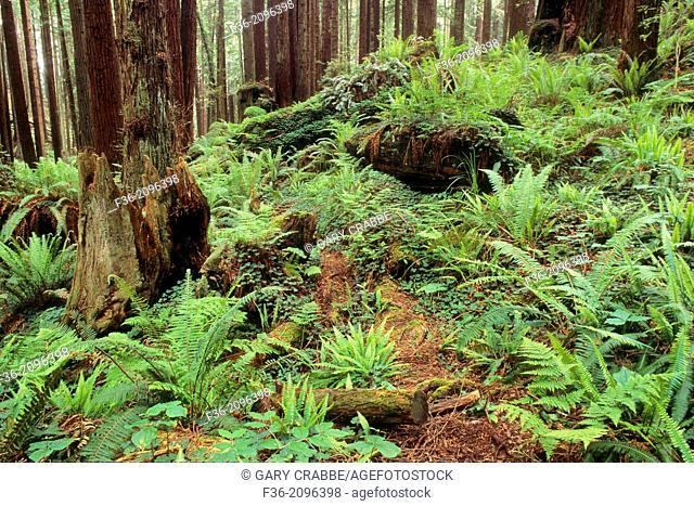 Ferns on forest floor, Redwood Park, Arcata, Humboldt County, California