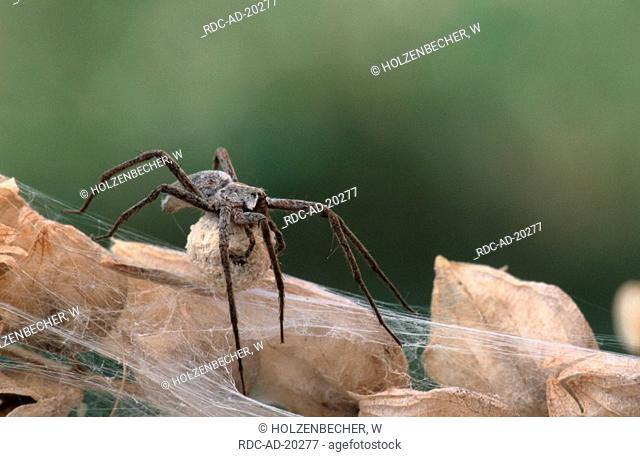 Fantastic Fishing Spider with egg cocoon Baden-Wurttemberg Germany Pisaura mirabilis
