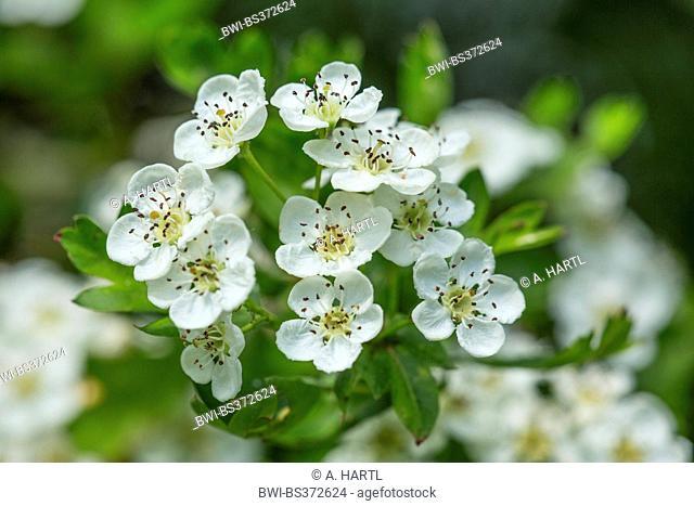common hawthorn, singleseed hawthorn, English hawthorn (Crataegus monogyna), flowers, Germany, Bavaria