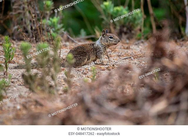 California Ground Squirrel foraging along the beach bushes for a morning meal
