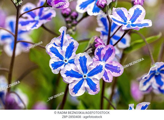 "Omphalodes cappadocica """"Starry Eyes"""" know as Cappadocian navelwort in bloom"