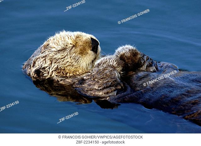 Sea otter.Enhydra lutris.Otter resting in the protected waters of the marina at Moss Landing.Monterey Bay, California, USA. Pacific Ocean