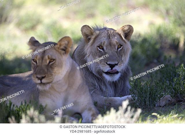 African lion (Panthera leo) - Young male and female, Kgalagadi Transfrontier Park, Kalahari desert, South Africa/Botswana