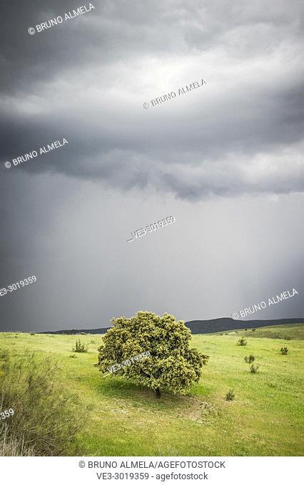 Cork oak in grassland near Burguillos del Cerro (province of Badajoz, region of Extremadura)