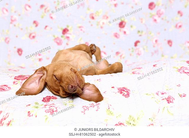Vizsla. Puppy (6 weeks old) sleeping on a blue blanket with rose flower print. Germany