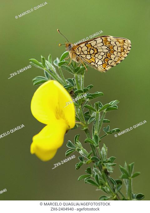 Butterfly and broom flower (Cytisus scoparius). Montseny Natural Park. Barcelona province, Catalonia, Spain
