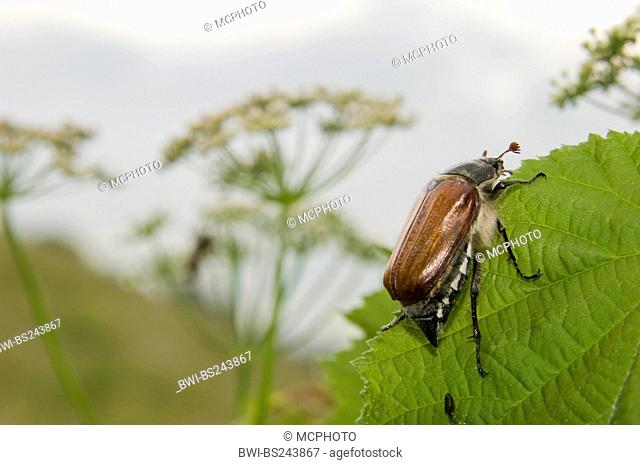 common cockchafer, maybug Melolontha melolontha, sitting on a leaf, Italy, South Tyrol, Patztauhof