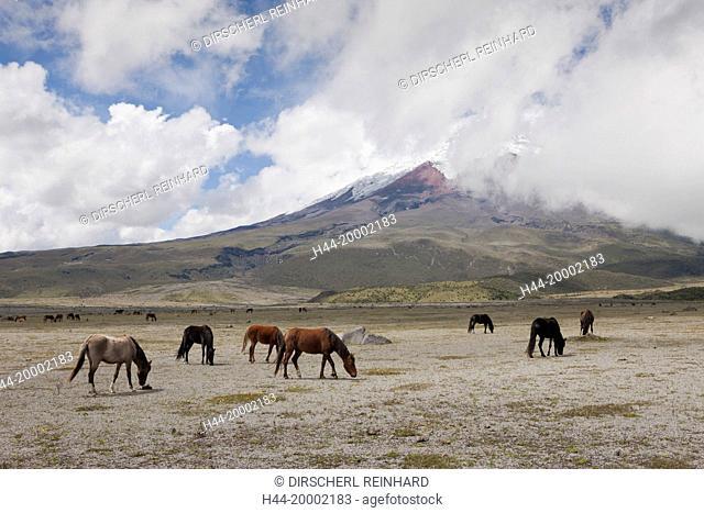 Wild Horses grazing near Cotopaxi, Cotopaxi National Park, Ecuador