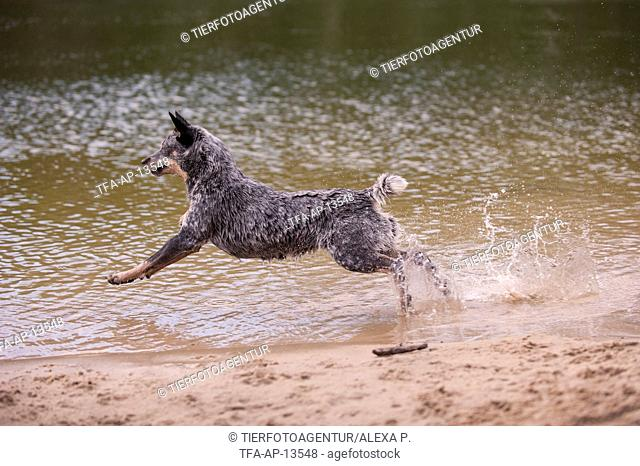 running Australian Cattle Dog