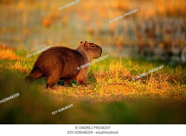 Biggest mouse around the world, Capybara, Hydrochoerus hydrochaeris