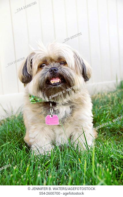Portrait of a Shih-tzu terrier outdoors on green grass