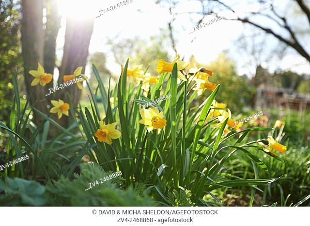 Close-up of daffodil (Narcissus) blossoms in spring