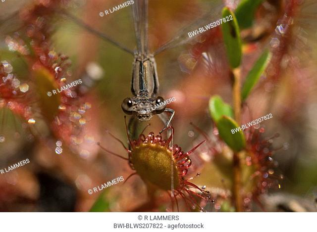 long-leaved sundew, oblong-leaved sundew, spoon-leaved sundew Drosera intermedia, dragonfly on sundew deadley trap, Canada, Nova Scotia