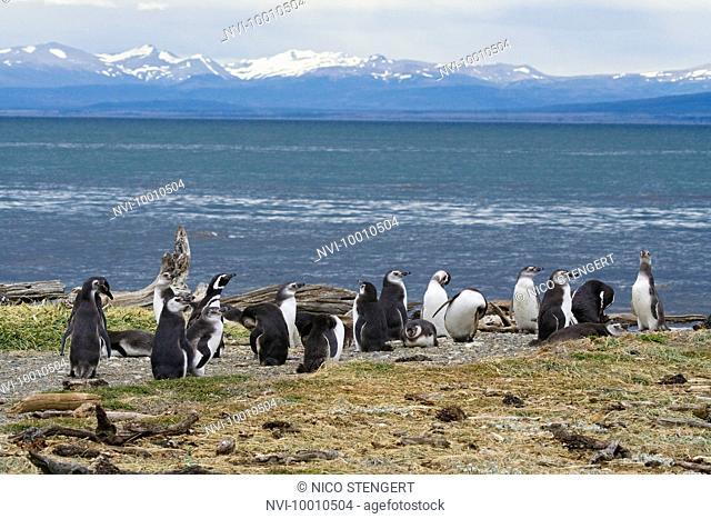 Magellanic Penguins, Spheniscus magellanicus, Seno Otway, Chile, South America