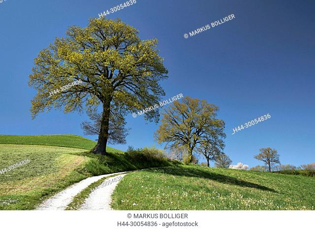 Tree, way, scenery, oak, handle oak, foliage tree, Quercus, Quercus robur, sky, blue, Sky-blue, would point, spring, nature, country lane