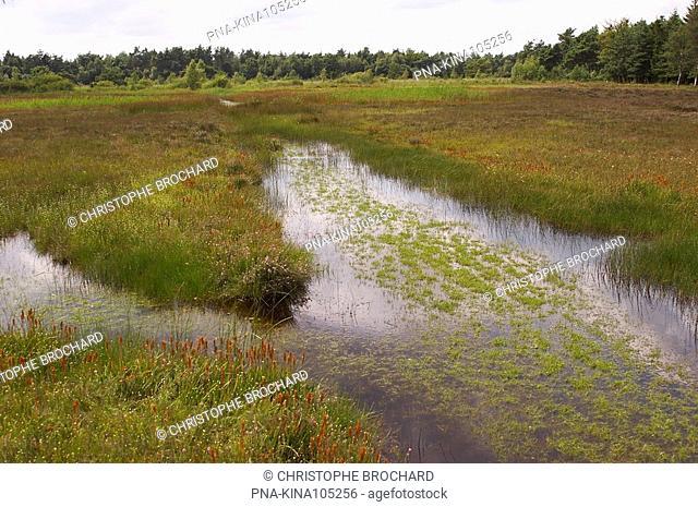 Floating Club-rush Eleogiton fluitans - Elspeet, Veluwe, Guelders, The Netherlands, Holland, Europe