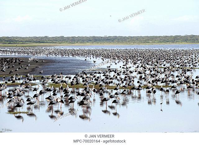 White Stork (Ciconia ciconia) flock resting, Lake Ndutu, Tanzania