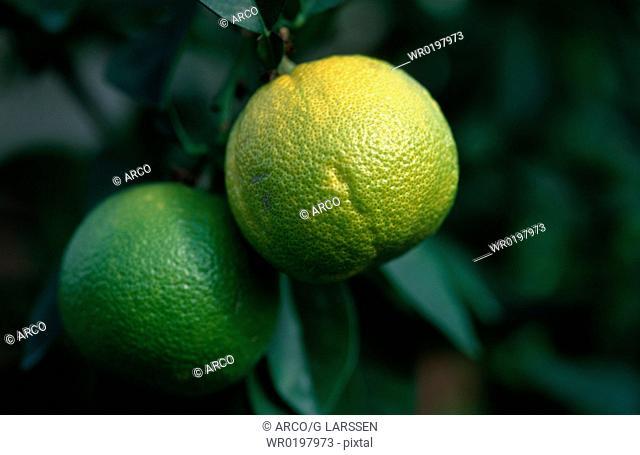 Grapefruit, on, tree,Citrus, x, paradisi