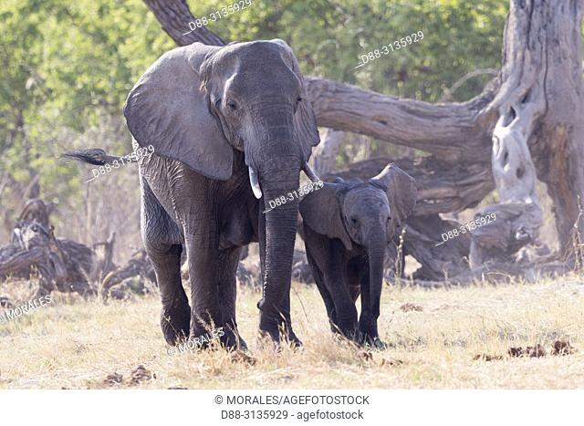 Africa, Southern Africa, Bostwana, Moremi National Park, African bush elephant or African savanna elephant (Loxodonta africana), Mother and baby