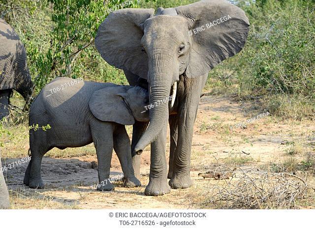 Youg African elephant suckling from its mother (Loxodonta africana) Queen Elizabeth National Park, Uganda, Africa
