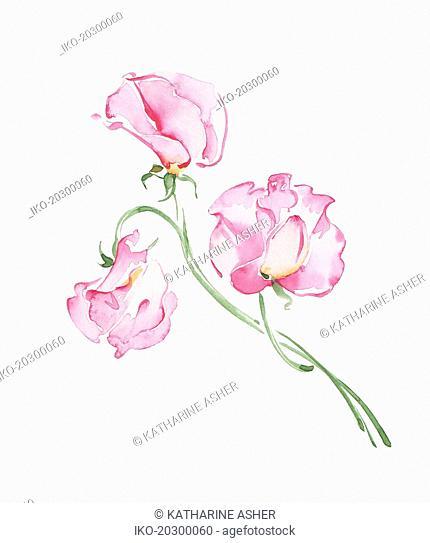 Watercolour painting of pink sweet peas