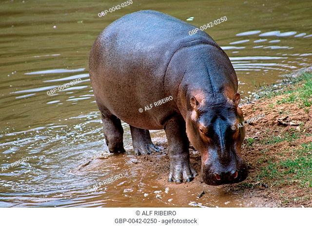 Hippo; Hippopotamus amphibius; Zoopark of Itatiba; Sao Paulo; SP; Brazil