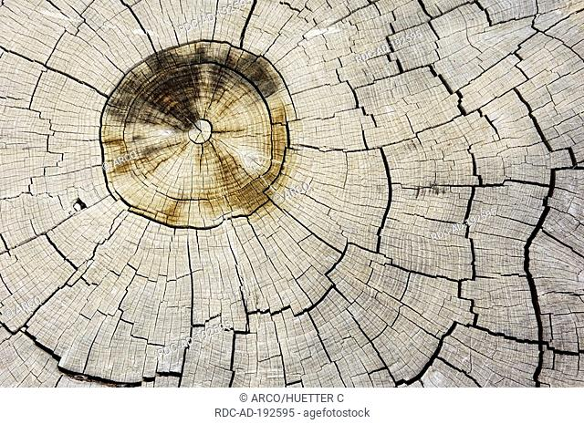 Italian Cypresses, cross-section, Provence, Southern France, Cupressus sempervirens, annual rings
