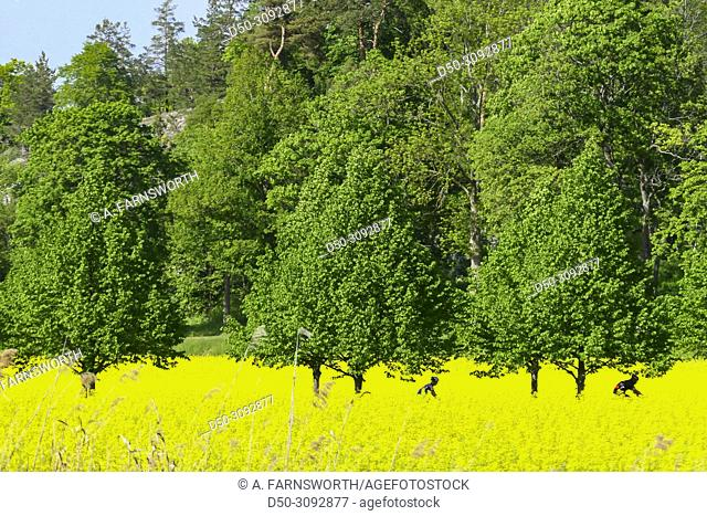 Yellow fields of rapseed in the suburb of Ekero. Stockholm, Sweden