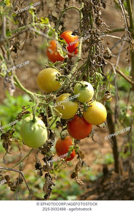 Bunch of raw tomatoes on tree, red, green and orange in color at Khedshivapur at Pune