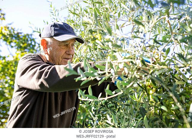 Senior man picking olives from tree