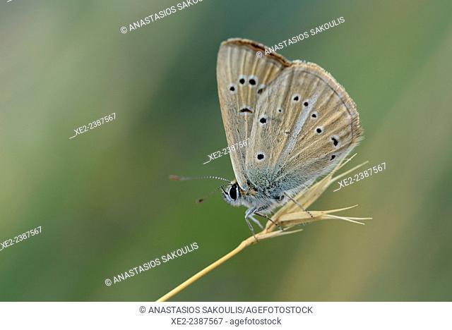 Damon Blue - Polyommatus Agrodiaetus damon, Greece