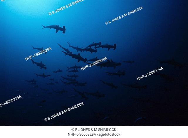 HAMMERHEAD SHARK Sphyrna sp  shoal Malaysia
