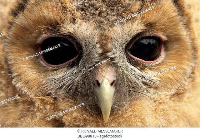 Portrait of a young tawny owl
