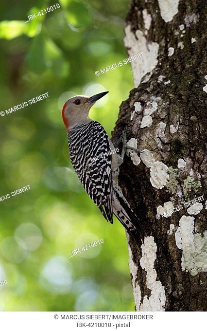 Red-bellied Woodpecker (Melanerpes carolinus), Everglades National Park, Florida, USA