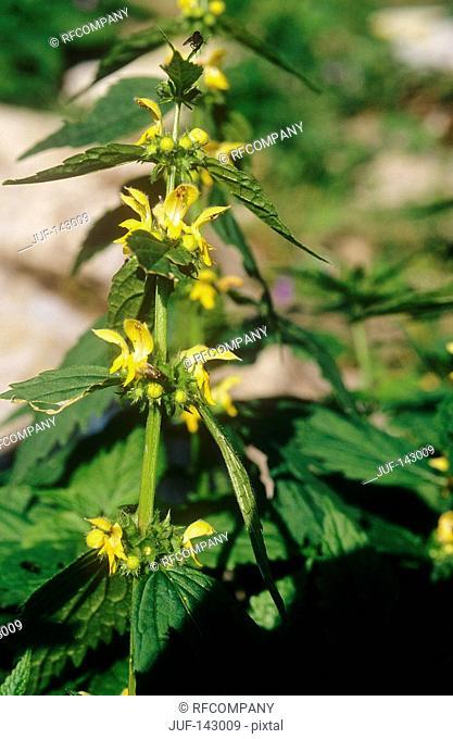 Yellow Archangel / Lamium galeobdolon