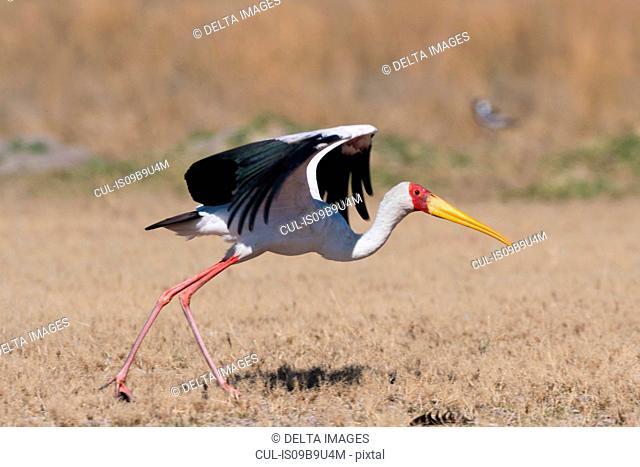 Yellow-billed Stork (Mycteria ibis), with spread wings, Moremi Game Reserve, Okavango Delta, Botswana