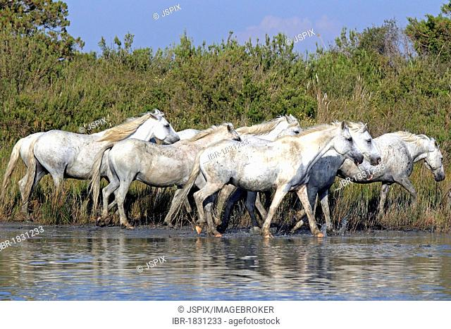 Camargue horses (Equus caballus), herd in water, Saintes-Marie-de-la-Mer, Camargue, France, Europe
