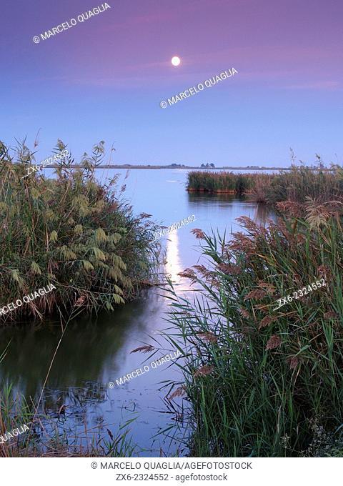Common reeds (Phragmites australis) of Encanyissada Lagoon at dusk with full moon. Ebro River Delta Natural Park, Tarragona province, Catalonia, Spain