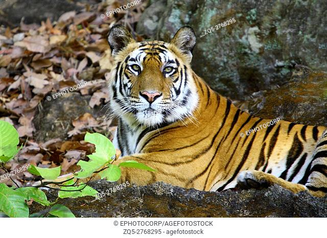 A Tigress (Panthera tigris) relaxing at Bandhavgarh National Park Madhya Pradesh India