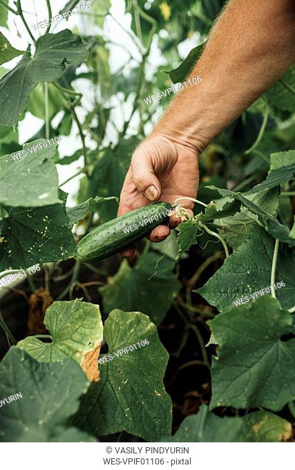 Mature man, gardener in greenhouse, hand holding cucumber