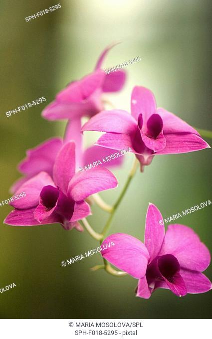 Dendrobium bigibbum var. compactum 'Harford'