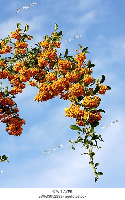 fire thorn, scarlet firethorn, burning bush (Pyracantha coccinea), twig with mature fruits