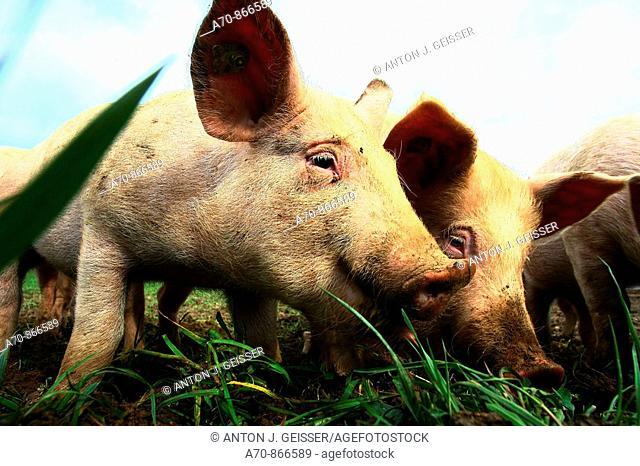 Pigs. Switzerland