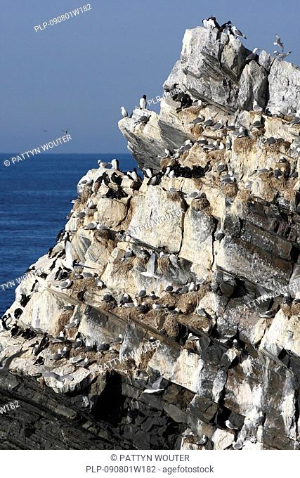 Puffins, razorbills and black-legged kittiwakes nesting in cliff at seabird colony