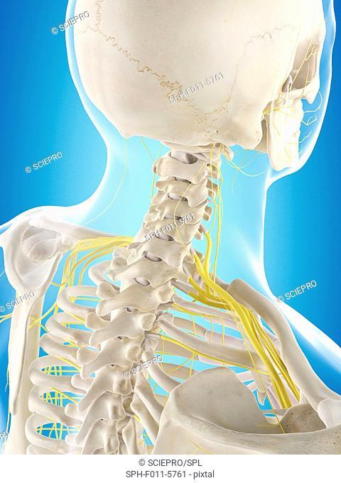Human nervous system, computer illustration