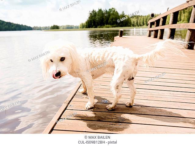 Portrait of wet coton de tulear dog on lake pier, Orivesi, Finland